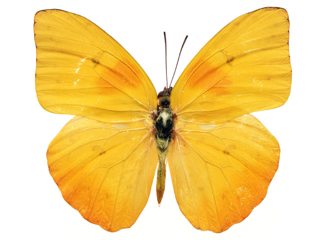Photograph of a yellow butterfly