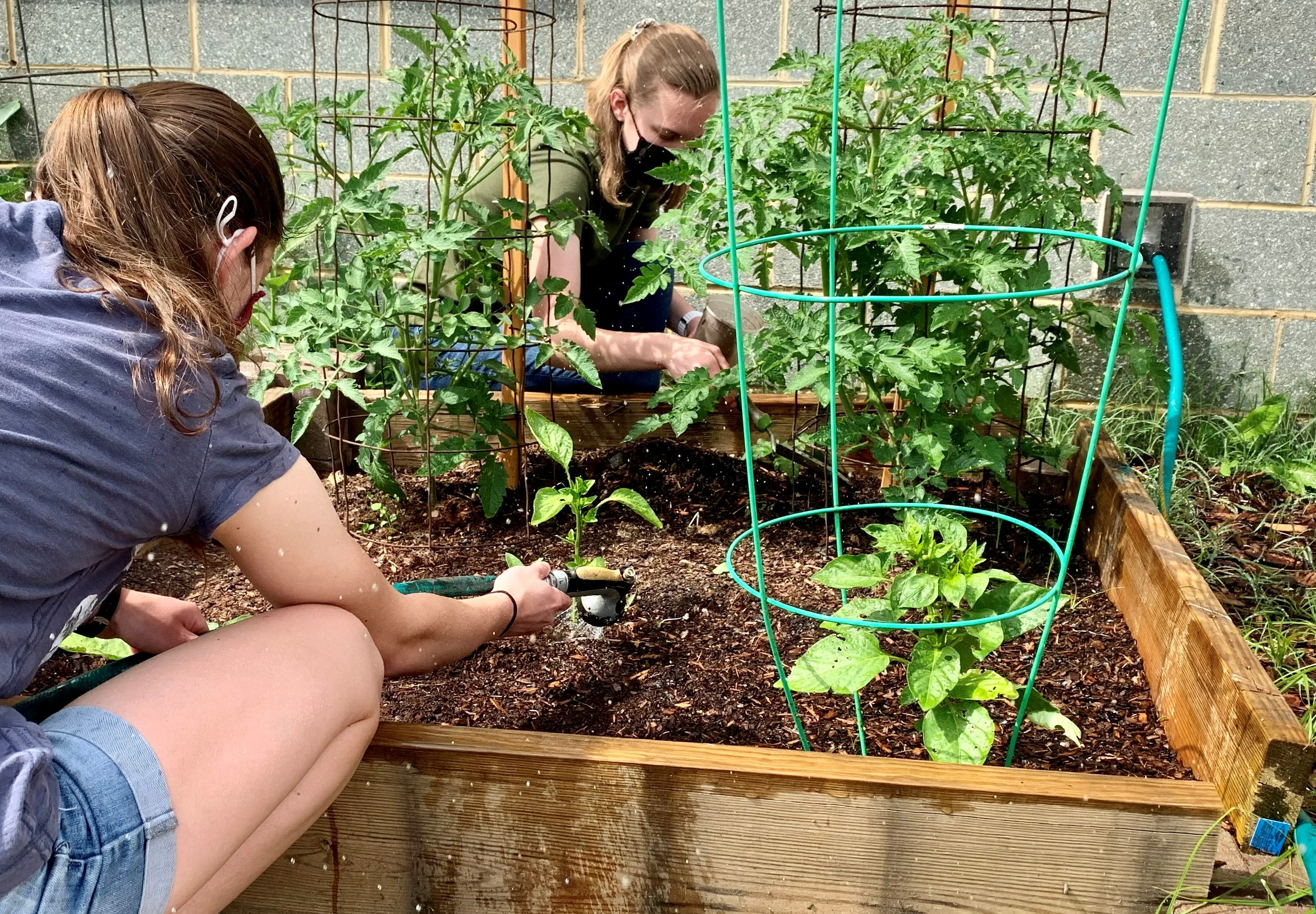 Woodson juniors Victoria Caswell and Kimberly Austin harvest lettuce for use at a local food bank.
